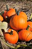 Harvest in a field of pumpkins in early fall Royalty Free Stock Image