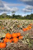 Harvest in a field of pumpkins in early fall Royalty Free Stock Photo