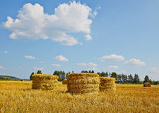 Harvest field with straw vertical rolls in summer. Blue sky. Royalty Free Stock Photo