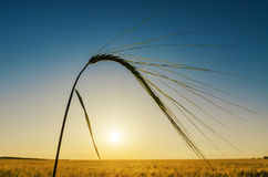 Harvest on field and sunset Stock Photography