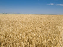 The Harvest, field of the wheat. Royalty Free Stock Image