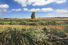 Harvest  in the  fields Stock Photo