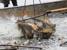 Harvest of fishpond. Royalty Free Stock Images