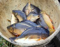 Harvest of fishpond. Stock Photo