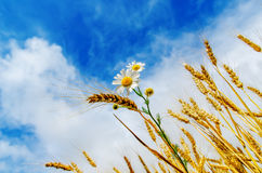 Harvest with flower under sky Royalty Free Stock Images