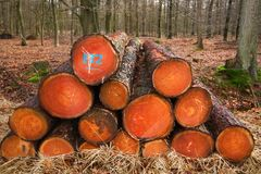 Piled tree trunks. Harvest in forestry: piled tree trunks of pine trees in a forest Royalty Free Stock Images