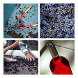 Harvest in a French winery Stock Photos
