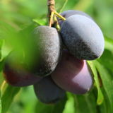 Harvest, fresh blue farmer plums harvested on the farm in autumn Royalty Free Stock Images