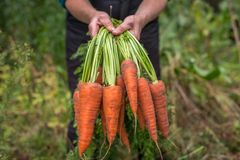 Bunch of fresh raw carrots in the hands of the farmer outdoors closeup. Harvest of fresh carrots in a garden Royalty Free Stock Image
