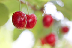 Harvest fresh cherries Stock Images