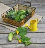 Harvest of fresh cucumbers Stock Photo