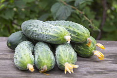 Harvest of fresh cucumbers Royalty Free Stock Images