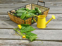 Harvest of fresh cucumbers on a wooden table Royalty Free Stock Photos