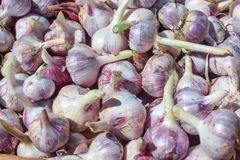 Harvest of fresh garlic heap in autumn close-up stock image