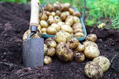 Harvest of fresh organic potatoes in the garden with full basket and little trowel in the soil stock photos