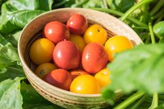 Harvest of fresh and organic red and yellow tomatoes in a bowl stock photo