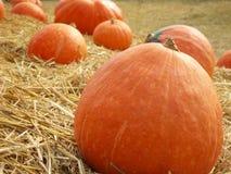 Harvest fresh pumpkin orange in the farm Royalty Free Stock Image