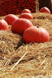 Harvest fresh pumpkin orange in the farm for halloween day Stock Images