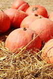 Harvest fresh pumpkin orange in the farm for halloween day Stock Image