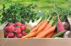 Fresh vegetable in a wooden crate. Harvest of fresh and raw vegetables  in a wooden crate in a garden Stock Image