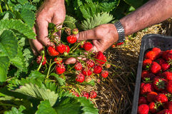 Harvest fresh strawberries on strawberry field Royalty Free Stock Photo