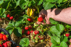 Harvest fresh strawberries on strawberry field Stock Images