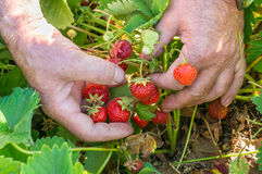 Harvest fresh strawberries on strawberry field Royalty Free Stock Image
