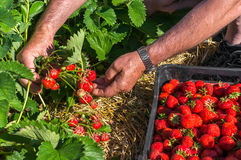 Harvest fresh strawberries on strawberry field Stock Image