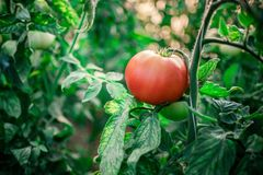 Harvest of fresh tomatoes from ecological and domestic breeding Stock Images