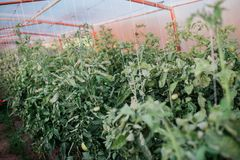 Harvest of fresh tomatoes from ecological and domestic breeding Stock Photo