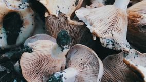 Harvest of freshly picked mushrooms in the forest that lie on a table close up view stock video footage