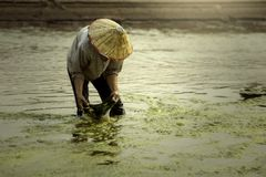 Harvest freshwater algae Villagers or fishermen in the Mekong Stock Images