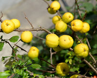 Harvest of fruits of a quince Japanese (Chaenomeles japonica (Th Stock Photography