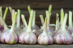 Harvest garlic. Is dried on the wooden table royalty free stock image