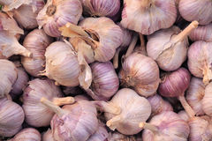 Harvest of garlic. Growing vegetables. Agriculture Stock Photography