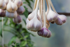 Harvest of garlic hanging to dry outdoor Royalty Free Stock Photo