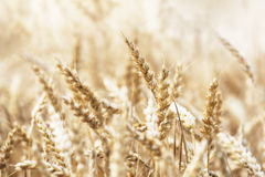 Harvest Royalty Free Stock Images