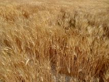 Golden wheat background Stock Images