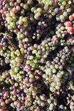 Harvest of grape bunches Stock Images
