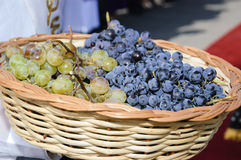 Harvest of grapes Stock Photography
