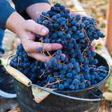 Harvest of grapes Stock Image