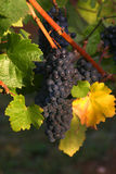 Harvest Grapes. Purple grapes ready for harvest Stock Images
