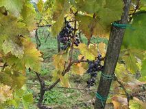 Harvest Grapes in Tuscany Royalty Free Stock Image