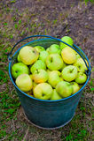 Harvest of green apples in  bucket Royalty Free Stock Photos