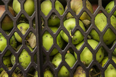 Harvest green apples in a crate. Harvest green apples in a cloak crate Royalty Free Stock Image