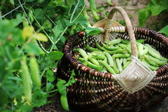 Harvest of green fresh peas picking in basket . Green pea pods on agricultural field. Gardening background with green Stock Photography