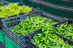Harvest of green peppers Royalty Free Stock Photo