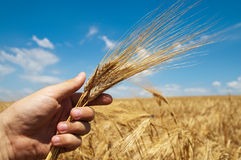 Harvest in hand Royalty Free Stock Photos
