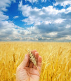 Harvest in hand Royalty Free Stock Photography
