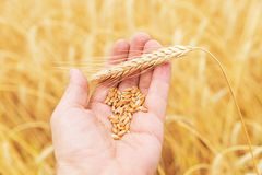 Harvest in hand over field Royalty Free Stock Image